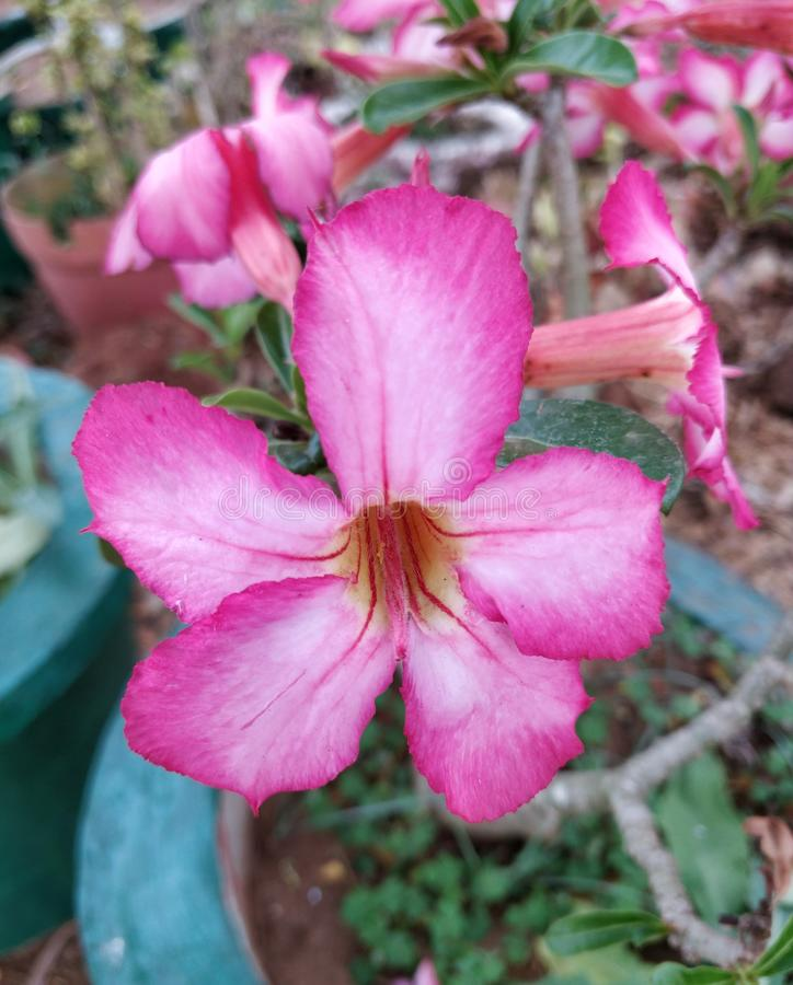 Adenium obesum flower royalty free stock photography