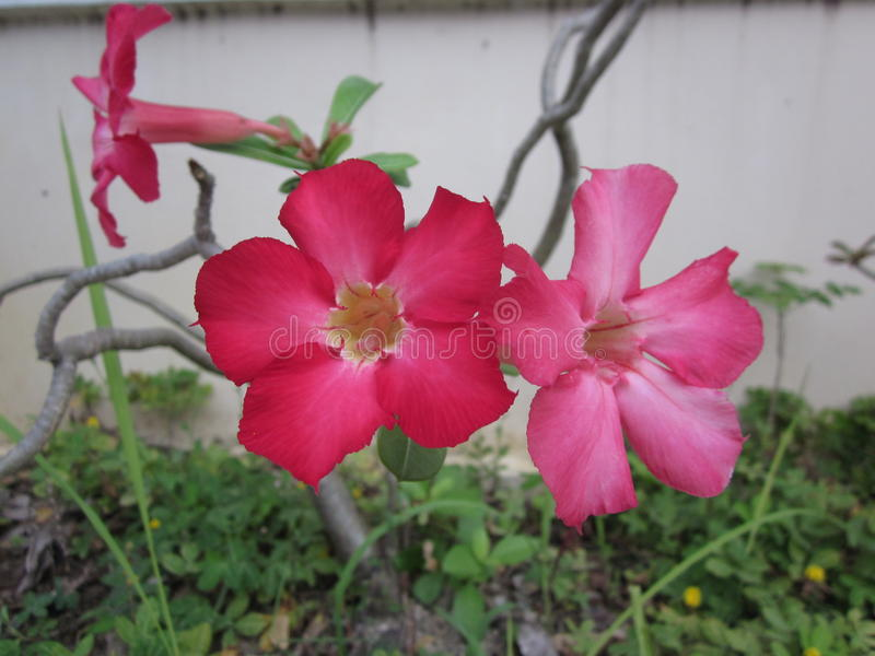 Adenium obesum or Desert Rose flower. stock photo