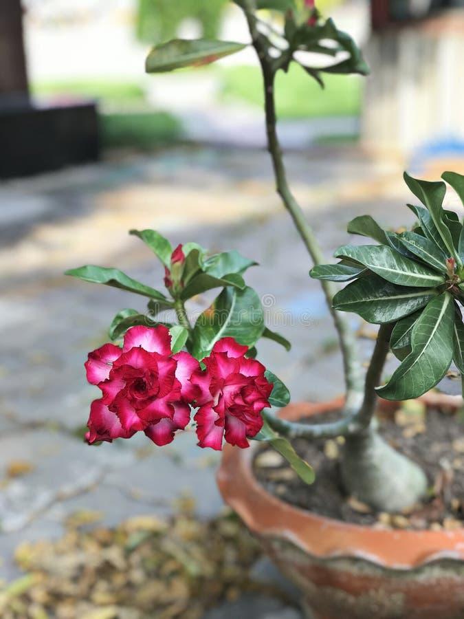 Adenium obesum or Impala lily or Mock azalea or Desert rose or Sabi star flower. stock images
