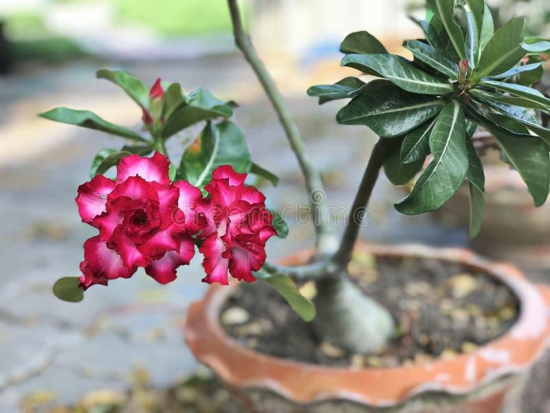 Adenium obesum or Impala lily or Mock azalea or Desert rose or Sabi star flower. stock photo