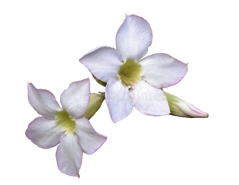 Adenium oder Wüstenrose, Blumen lokalisiert auf weißem Hintergrund lizenzfreies stockbild