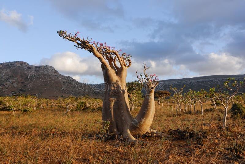 adenium pustynna obesum rośliny róża niezwykła obrazy royalty free