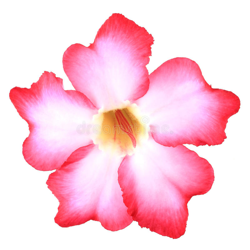 Adenium tropicale di colore rosa del fiore immagine stock