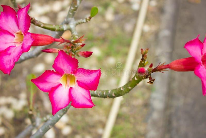 Adeniumbloemen De bloemen van de impalalelie stock foto's