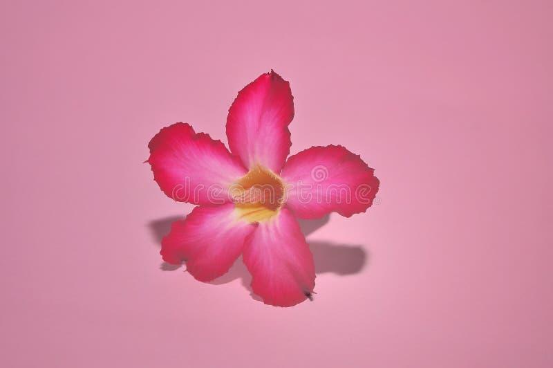 Adeniumbloemen op roze achtergrond worden ge?soleerd die royalty-vrije stock foto's