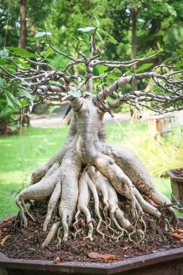 Adeniumträd i krukan royaltyfria bilder