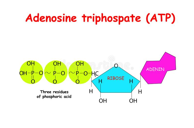 Adenosine triphosphate ATP on white background. ATP provides energy to drive many processes in living cells, e.g. muscle contrac. Tion, nerve impulse propagation stock illustration