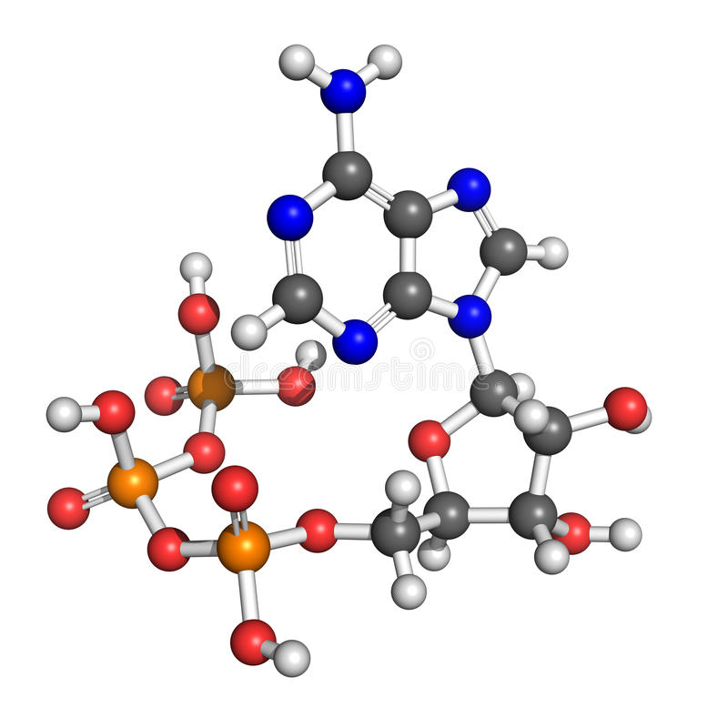 Adenosine triphosphate structure. Adenosine-5'-triphospate model. Atoms coloured according to convention (oxygen-red, carbon-grey, hydrogen-white etc.). ATP, so royalty free illustration