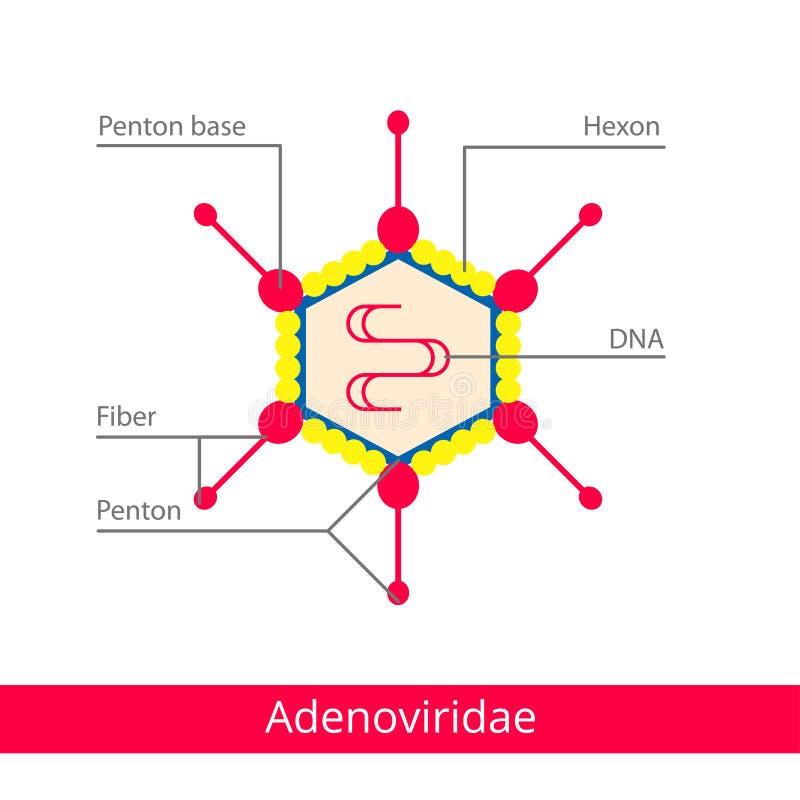 Adenoviridae Ταξινόμηση των ιών απεικόνιση αποθεμάτων