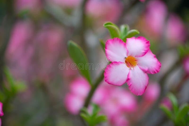 Adenuim or desert rose flower stock images