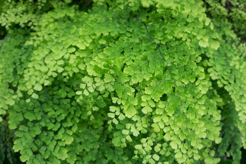 Adiantum capillus veneris or Black Maidenhair fern royalty free stock image