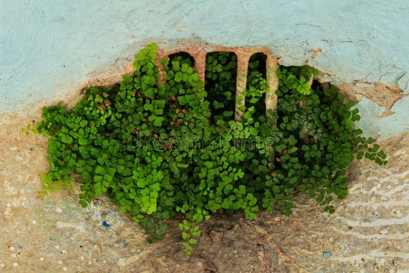 Adiantum capillus-veneris growing on the floor royalty free stock photos