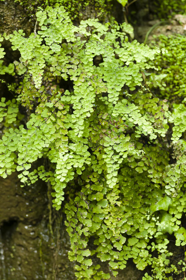 Adiantum capillus-veneris, Southern maidenhair fern, stock photos