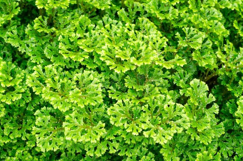 Adiantum fern or Maidenhair fern stock photo