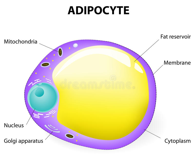 Adipocyte结构。脂肪细胞 向量例证