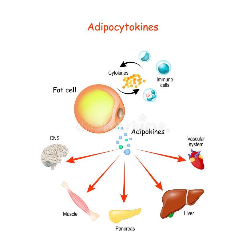 Adipocytokiner, immunceller och metabolism royaltyfria foton