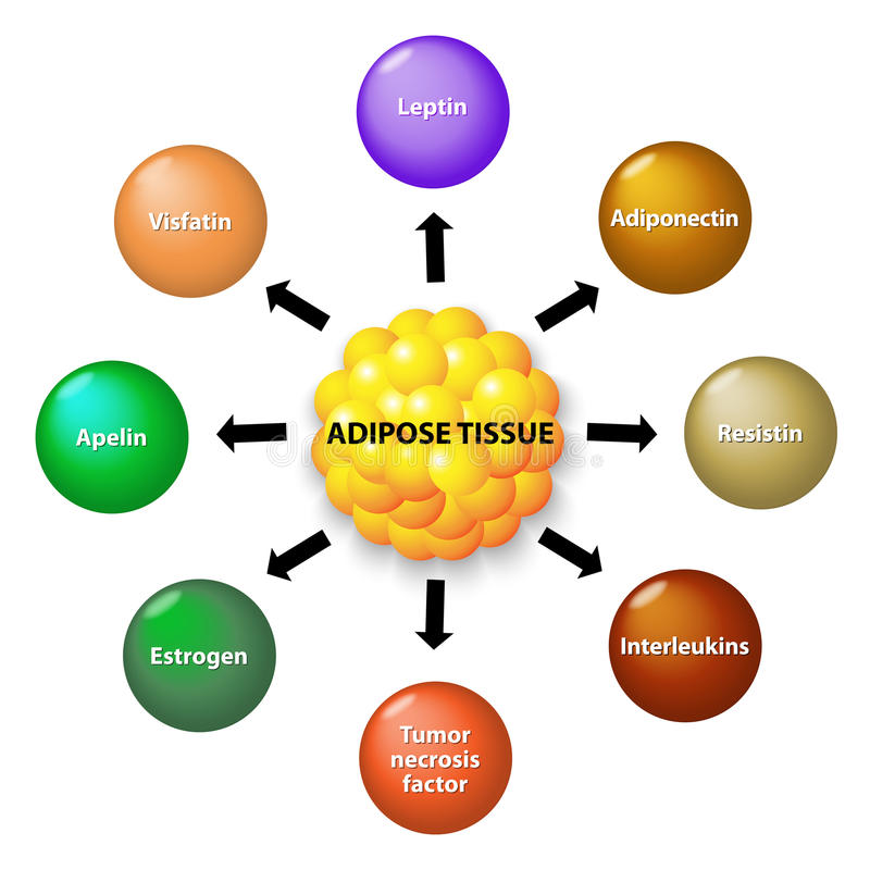 Adipose hormony i tkanka ilustracja wektor