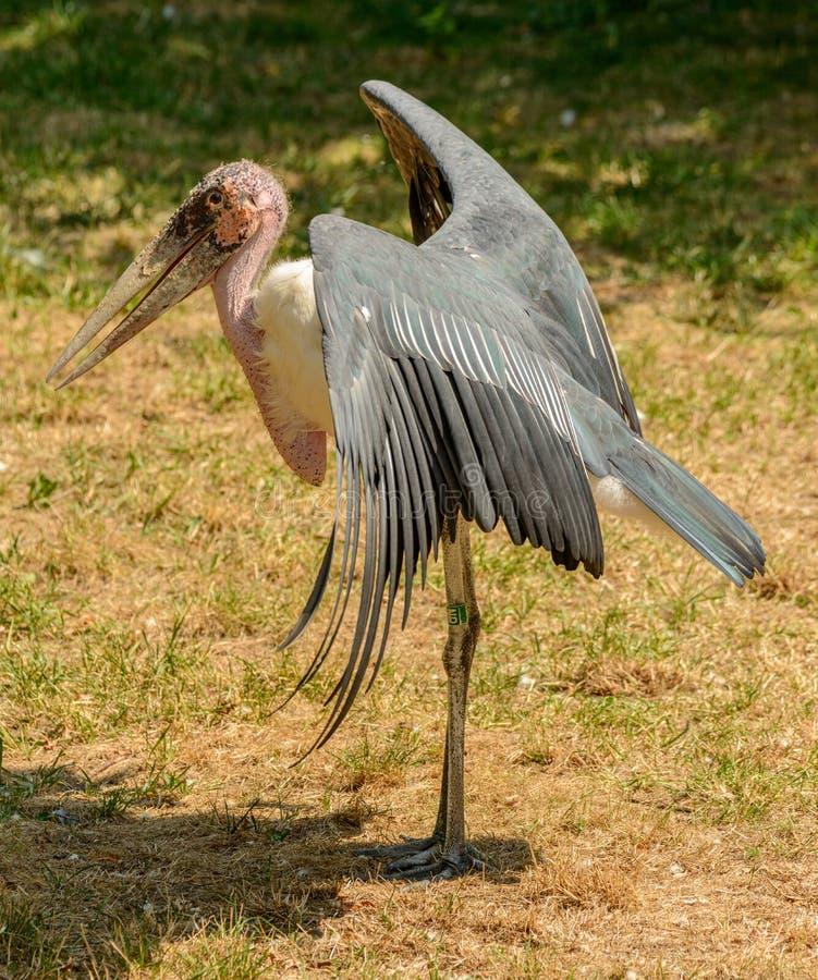Adjutant stork bird warming wings in sun royalty free stock photos
