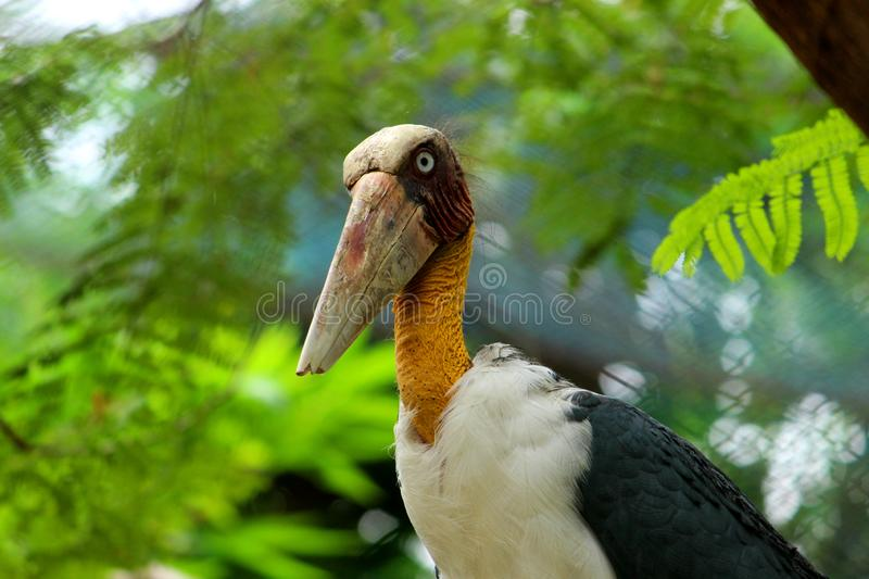 Side view with Close up shot of Adjutant Stork with large Beak. royalty free stock photography