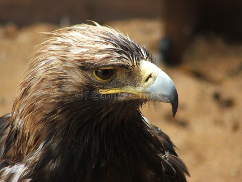 Adler stockfotos
