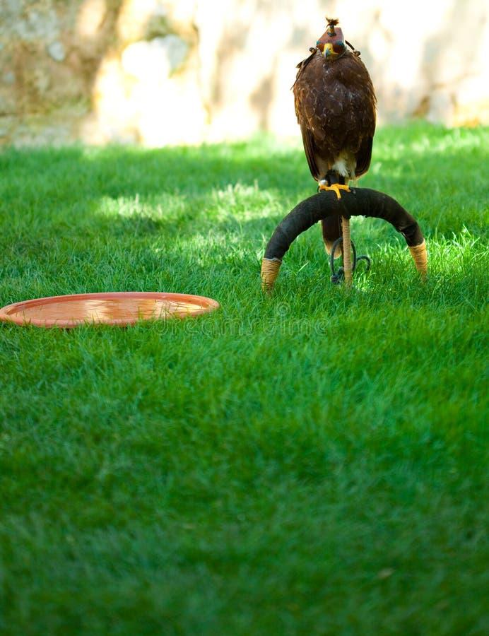 Adler auf einem Hintergrund des grünen Grases stockfoto