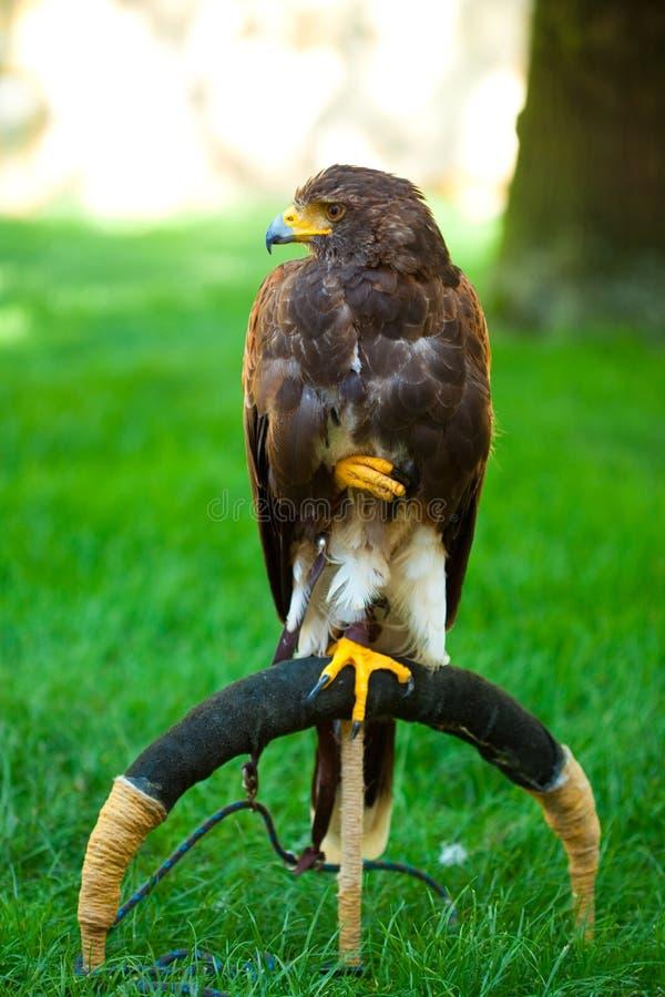 Adler auf einem Hintergrund des grünen Grases lizenzfreies stockfoto