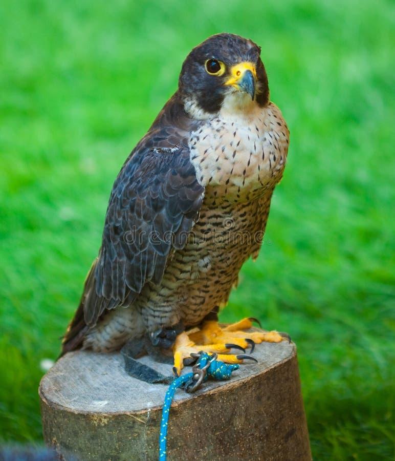 Adler auf einem Hintergrund des grünen Grases lizenzfreie stockfotos