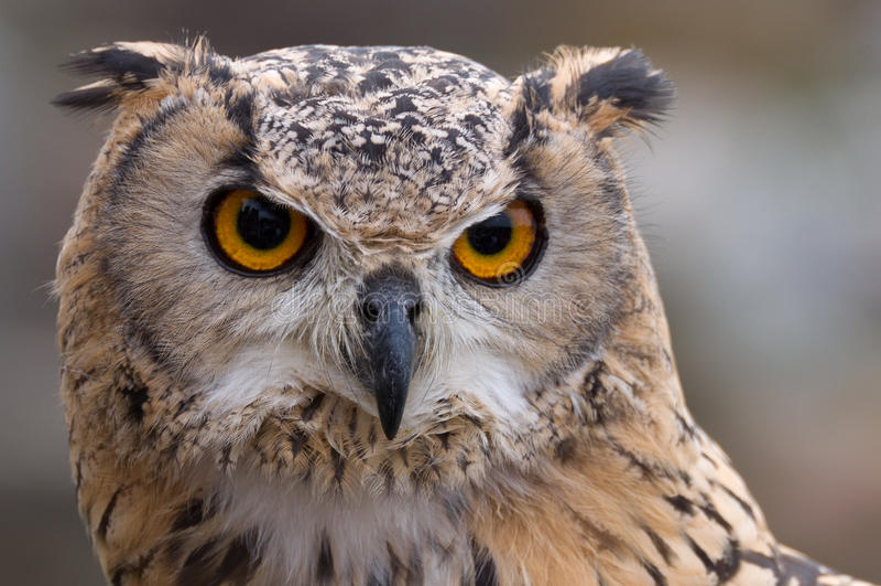 Adler-Eule, die nach Opfer sucht stockbild