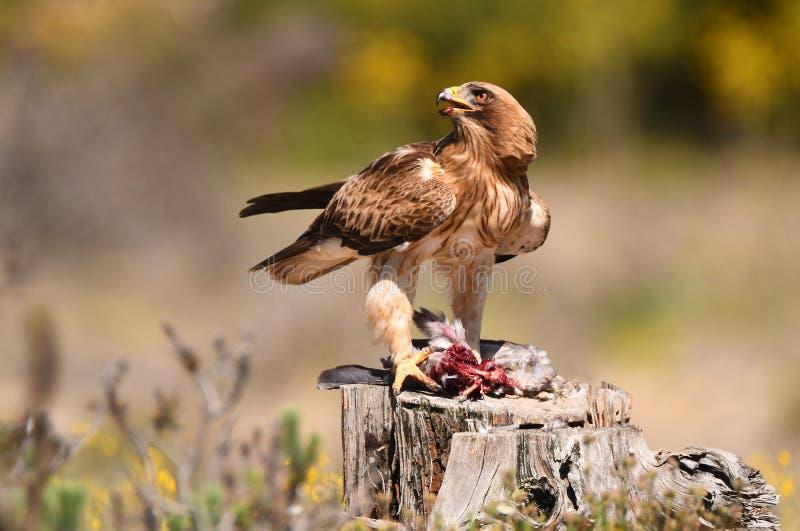 Adler mit einem Opfer auf dem Gebiet stockfotografie