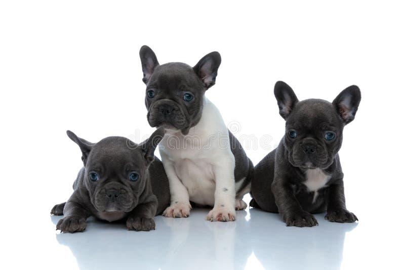 Adlige französische Bulldoggen-Cubs, die sich interessieren lizenzfreie stockbilder