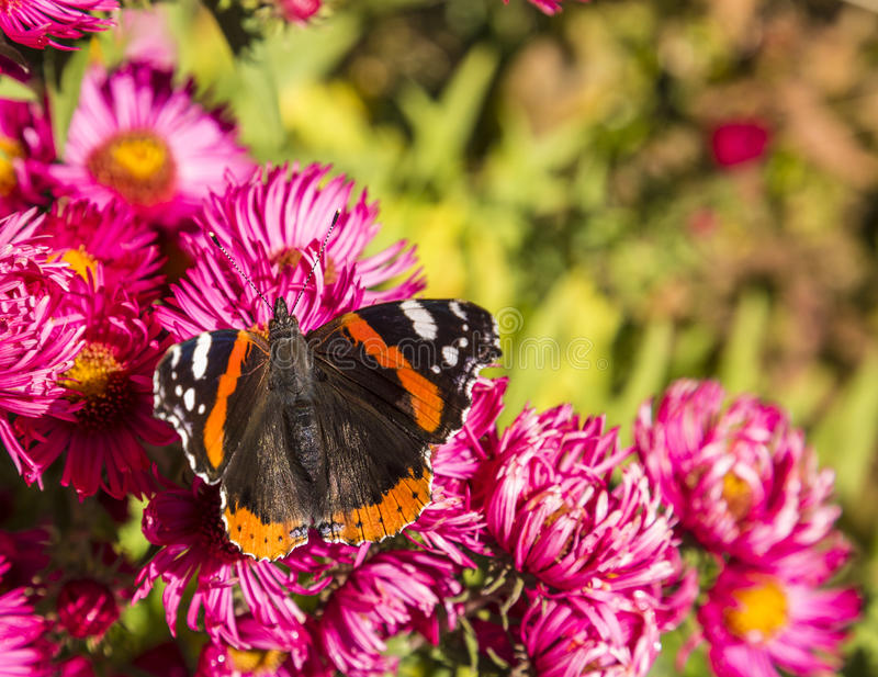 Admiral motyl przy kwiatem fotografia stock