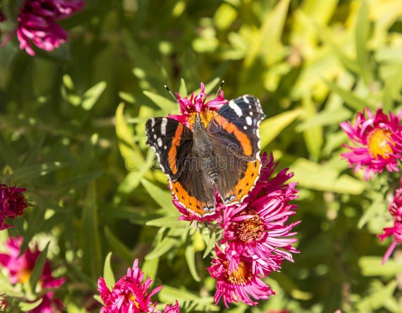 Admiral motyl przy kwiatem zdjęcie royalty free