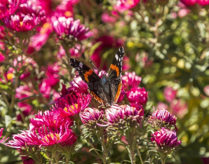 Admiral motyl przy kwiatem obrazy stock