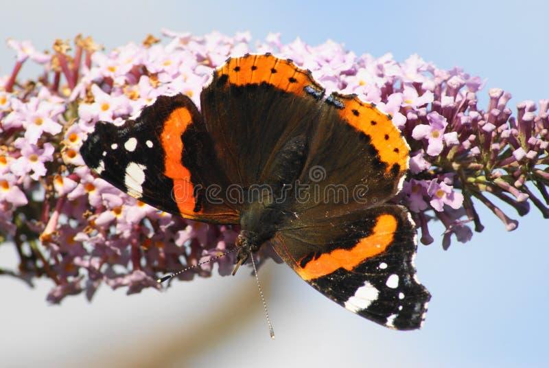 admiral motyla czerwień zdjęcie stock