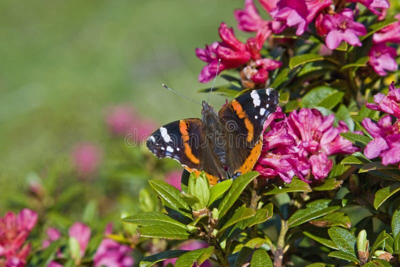 Admiral - Schmetterling auf dem Blühen alpin stieg lizenzfreies stockbild