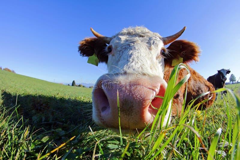 Admission faisante le coin large des bétail d'un Simmentaler avec des klaxons image stock