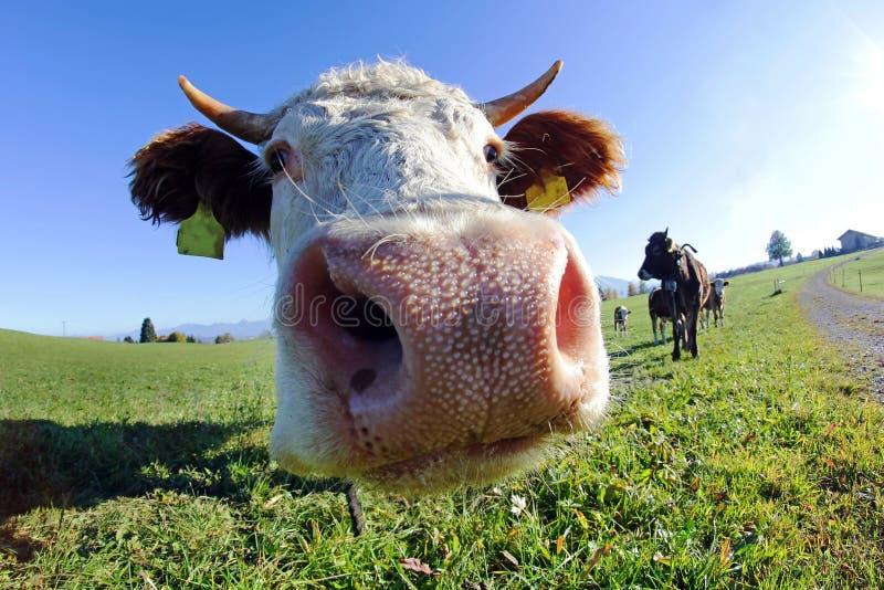Admission faisante le coin large des bétail d'un Simmentaler avec des klaxons images libres de droits