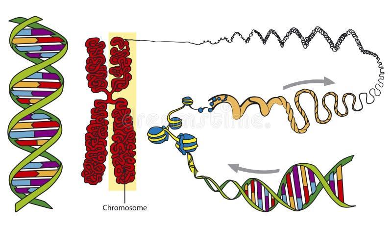 ADN ilustração stock