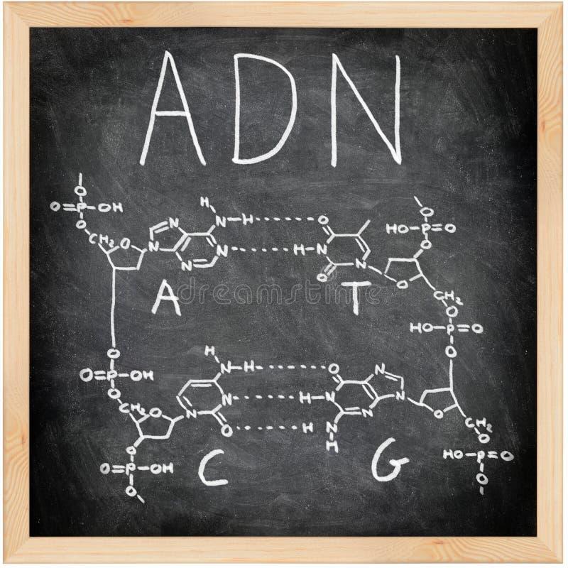 adn DNA τα γαλλικά πορτογαλι&ka στοκ εικόνα με δικαίωμα ελεύθερης χρήσης