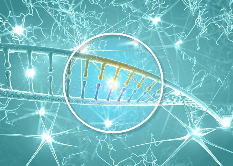 ADN et neurones, restructuration d'ADN, réécriture et régénération continue, plus grande activité des cellules nerveuses illustration stock