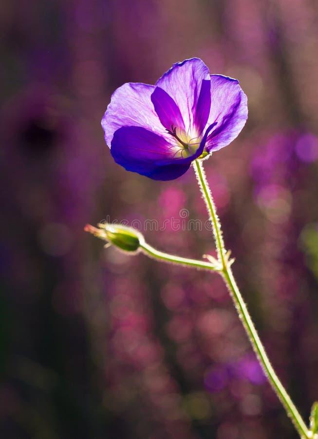 ?adny b??kitny kwiat fotografia royalty free