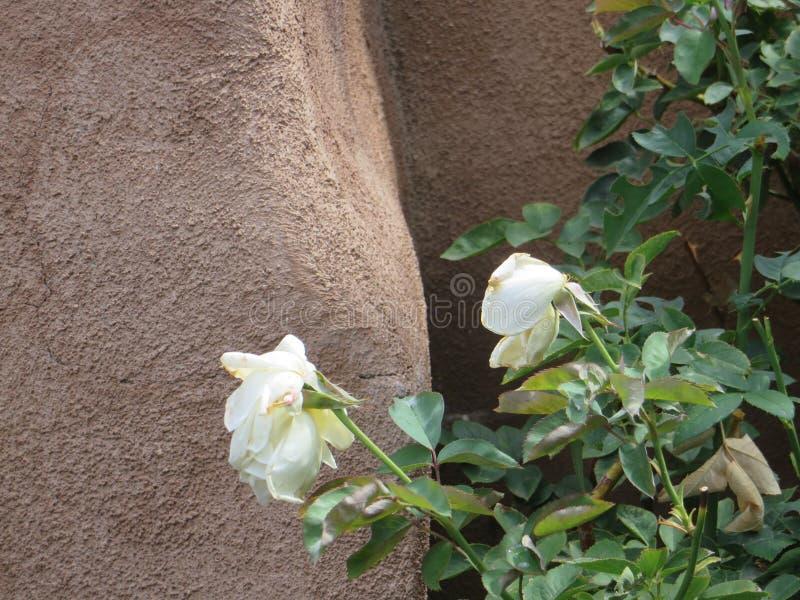Adobe ściana i kwiaty, Taos, Nowy - Mexico zdjęcia stock