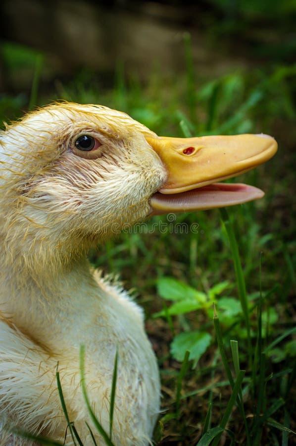 Adolescent American Pekin Duckling. Or Long Island Ducks playing on freerange cagefree farm royalty free stock photography