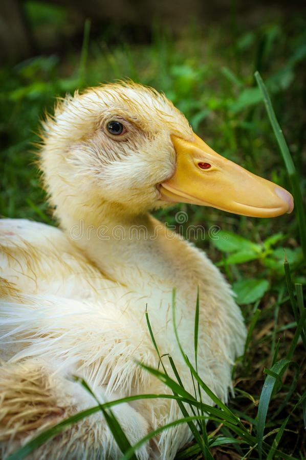 Adolescent American Pekin Duckling. Or Long Island Ducks playing on freerange cagefree farm royalty free stock images