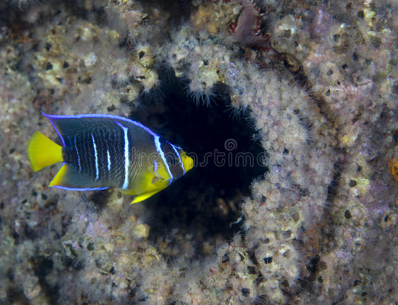 Download Adolescent Butterfly Fish - Shipwreck Porthole Stock Photo - Image: 25616396