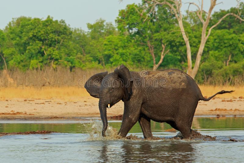 Adolescent elephant running and playing and splashing in a small waterhole in Hwange National Park royalty free stock photo