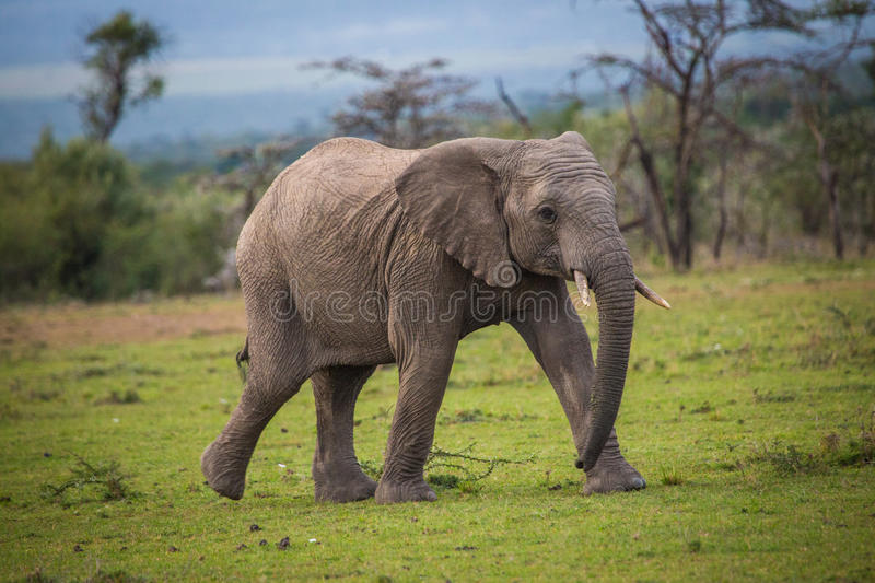 Adolescent Elephant Running stock photos