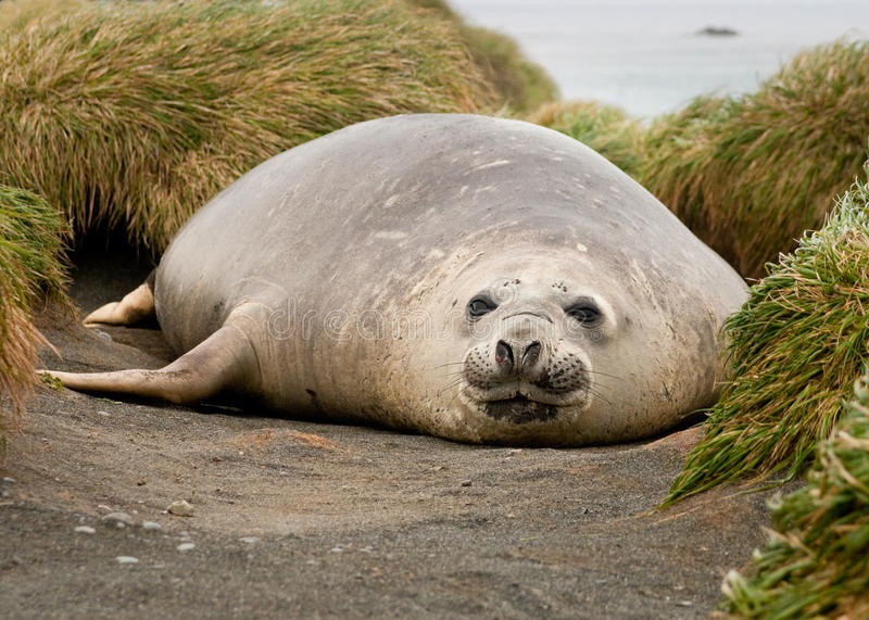 Download Adolescent Elephant Seal Stock Photo - Image: 10851140
