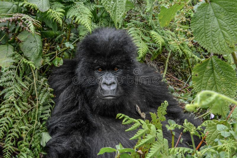 Adolescent wild mountain gorilla with a serious look. Close up of an adolescent wild mountain gorilla with a serious look in Volcanoes National Park Rwanda royalty free stock photography