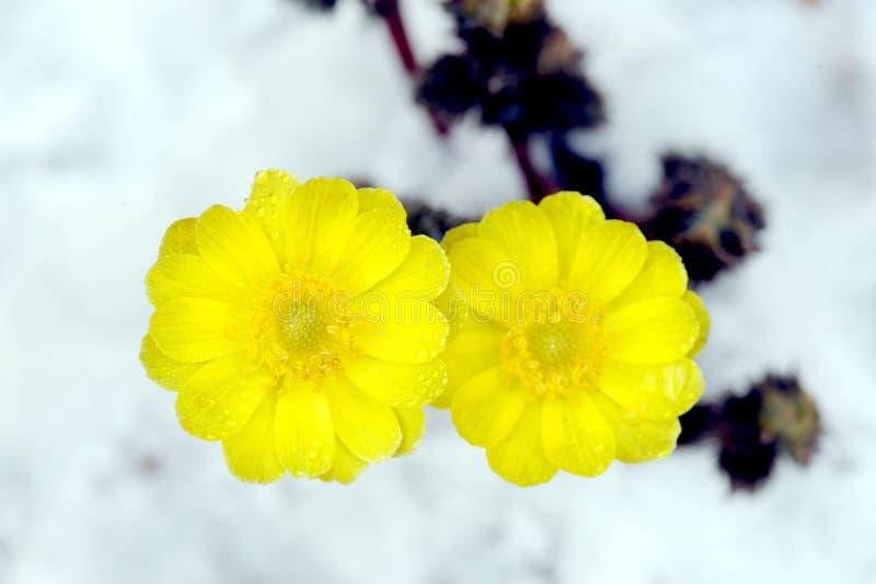Adone nella neve fotografia stock